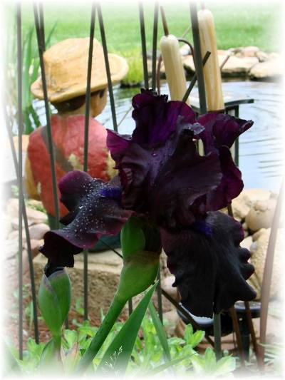 """Jeanne Sammons says, """" Gorgeous color and a re-bloomer!"""""""