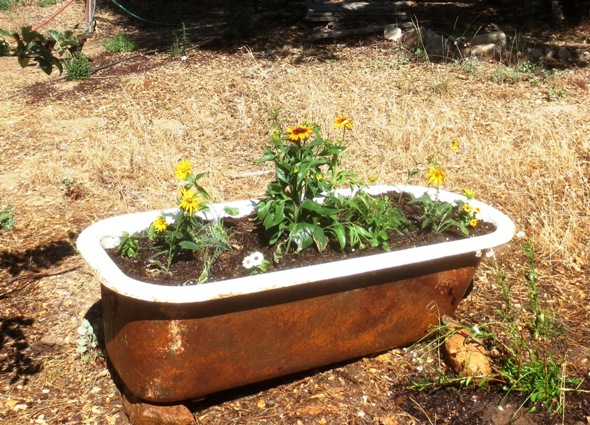 Black-eyed Susans and Yarrow planted