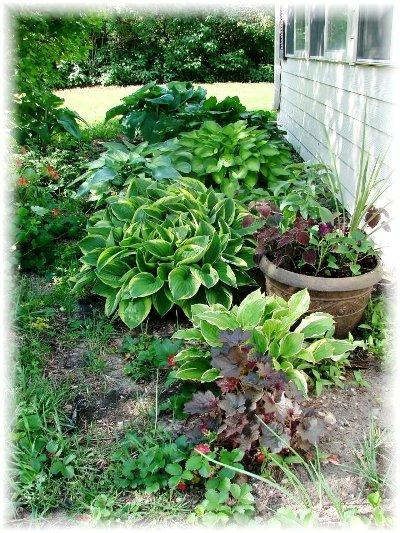 Jeanne Sammons's gorgeous hosta garden