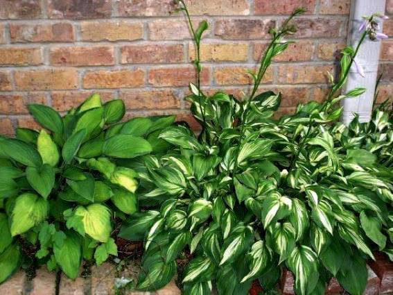 How To Grow Happy Hosta