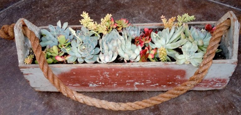 Nancy Pedersen's antique toolbox, filled with hens and chicks