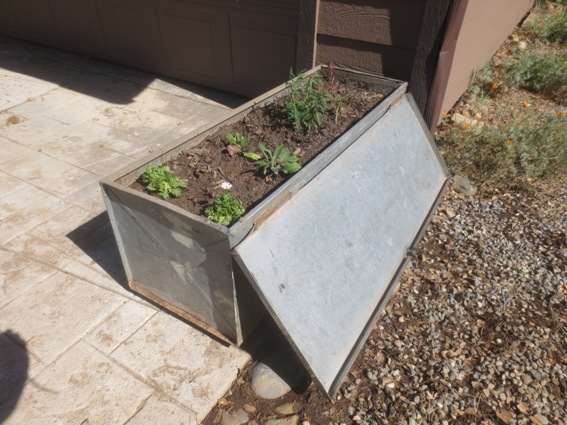 The toolbox all planted!  I added a dripper for reliable watering