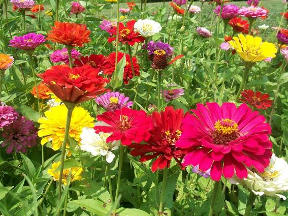 Vibrant, saturated color of Kay Comer's zinnias