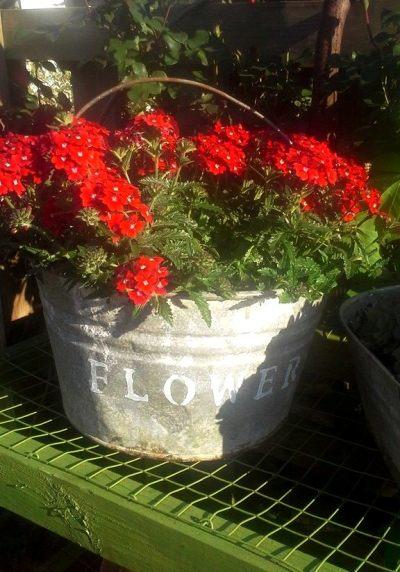 Billie Hayman long-lasting geraniums