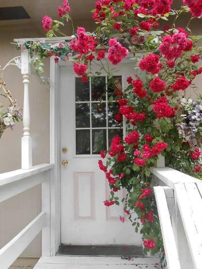 Olivia Parazine's cottage garden rose