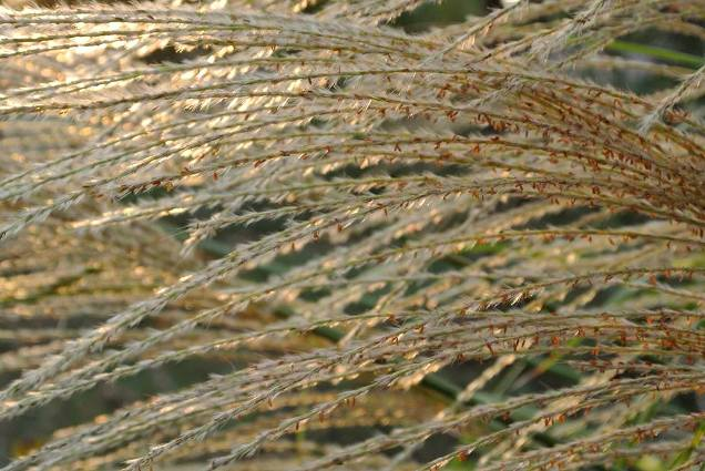 Fair Haven Farms's lovely seed heads