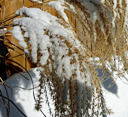 Linda Gladman's winter 'wheat'