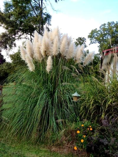 LouJean Bailey's Pampas grass