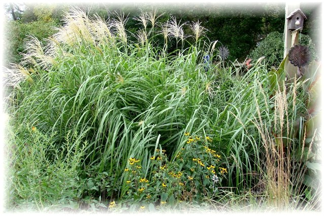 Miscanthus does well in heat, Jeanne says.