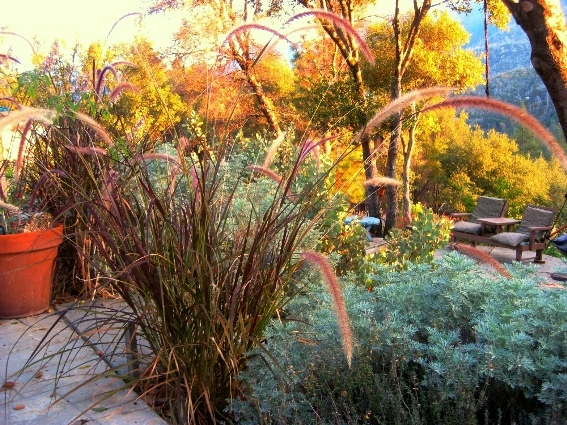 Purple Fountain grass in Autumn