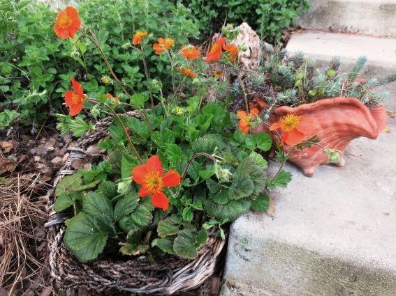 Bottomless basket still accents a flowering Geum plant