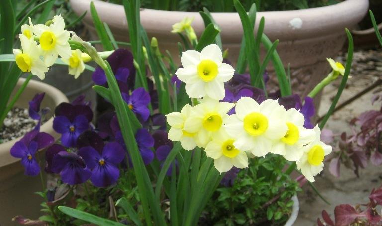 Bulbs and violas
