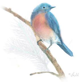 stephie bluebird