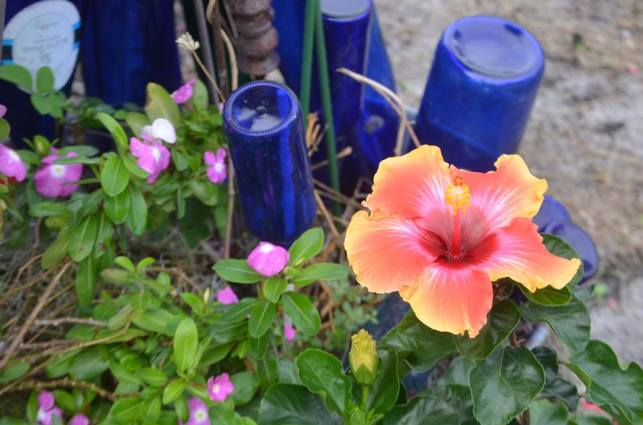 Blue sets off the brilliant colors of Tanya's Hibiscus