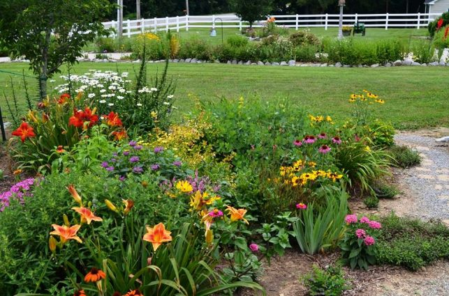 Christy's beautiful Daylilies in the front garden