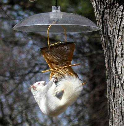 Nell Stelzer allows this white squirrel to raid her bird feeder with th added dome 'roof'. What else can she do?