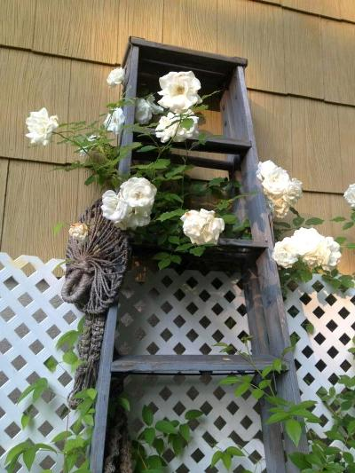 Audra DeGulis's old ladder with roses