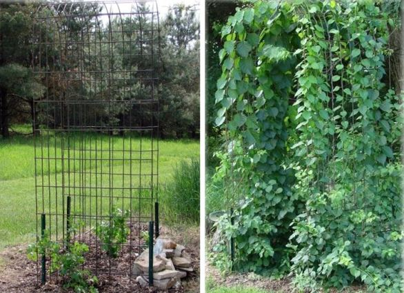 Jeanne Sammons shows her hog panel arch, before and after planting