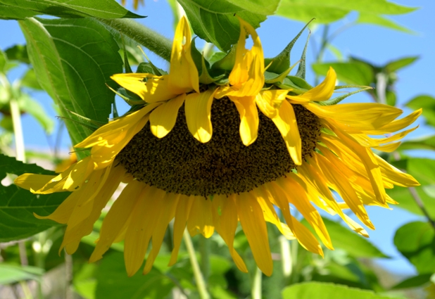 how to get seeds out of sunflowers