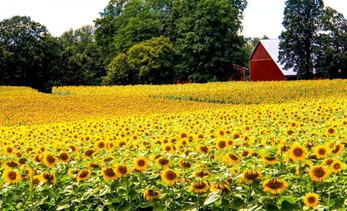 A sunflower farm  Photo by Linda Gladman