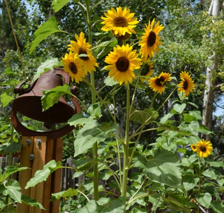 Rusty old bell with happy sunflowers