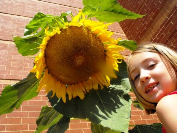 Kay Bassett's granddaughter had fun growing easy sunflowers