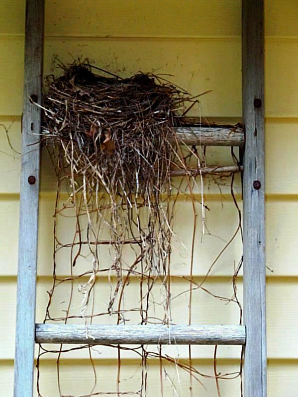Kirk Willis nest on a ladder trellis