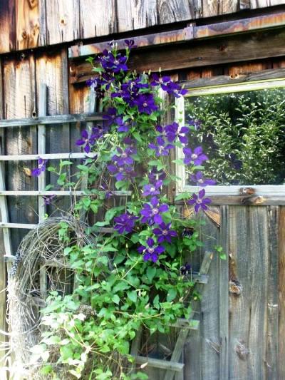 Cherrie Carine's 'Jackmanii' on barn