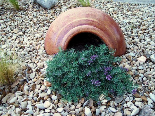 Shirley Fox buried the broken side of her big pot and planted creeping Germander, or Teucrium.