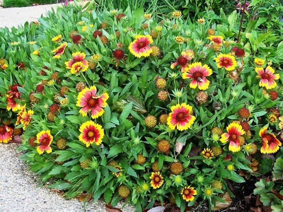Arlene Brenneman's Gaillardia 'Arizona Sun' still blooming