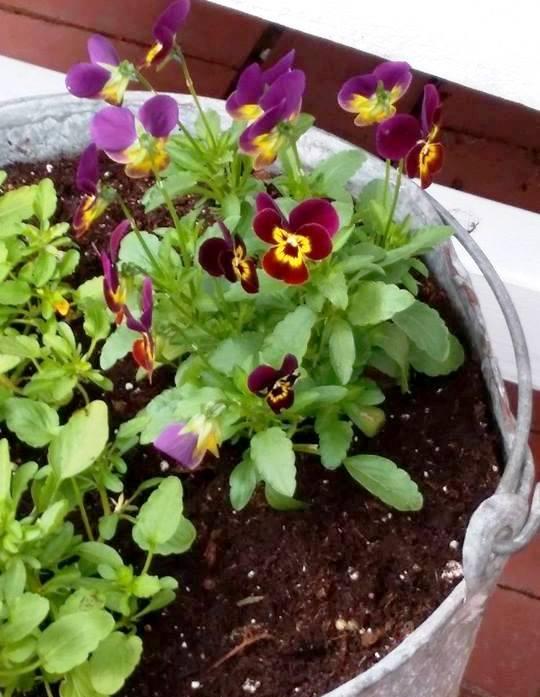 Linda Morgan has a lot still blooming, like this tiny viola
