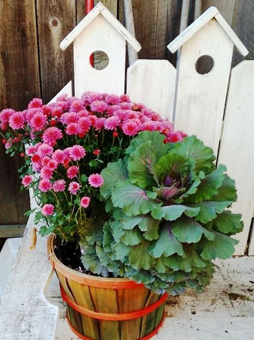 Linda Morgan's colorful mums and cabbage