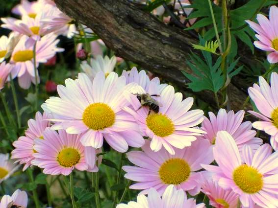 Lori Conley Bumblebee 'sleeping' on my pink mums
