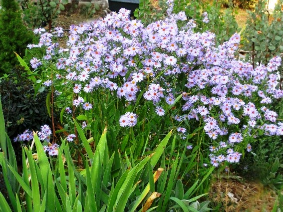 Sue Langley's New England Asters begin blooming in mid-October