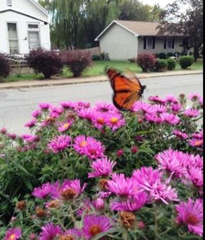 Tambra Morell's asters in her Evansville Indiana garden