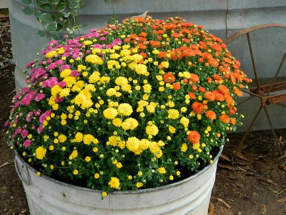 Tricolor Mums, a great trick!
