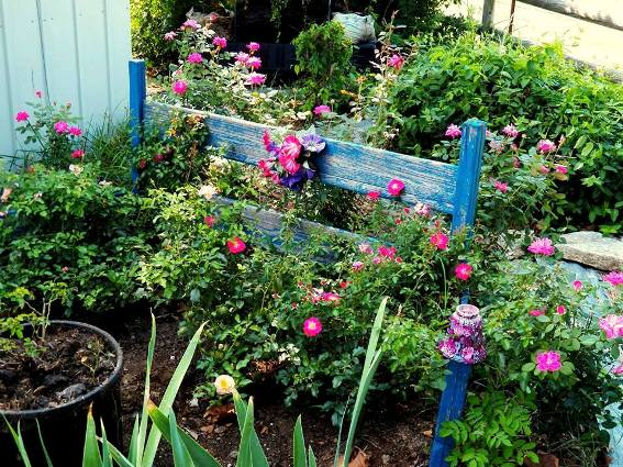 Pink Drift roses grow on either side and acts as a trellis