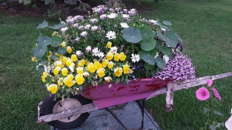 Darlene Danielson loves planting in wheelbarrows ~~~