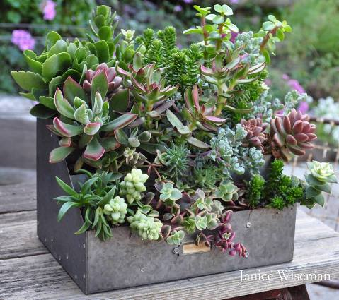 Janice Wiseman's 'old' chicken feeder, just stuffed with succulents