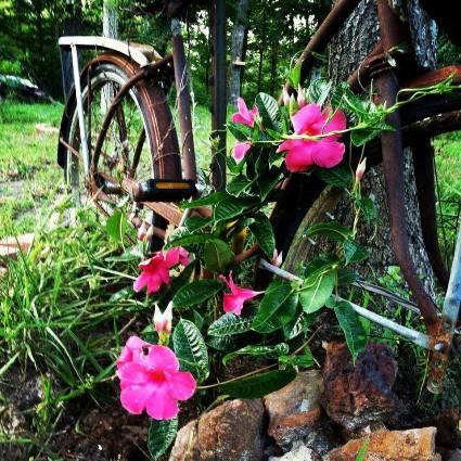 Dawn from Sun Baked Treasures proves bikes work as trellises
