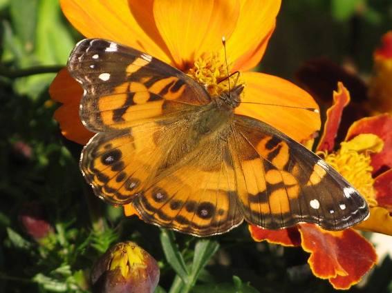 Cindy Sullivan's brillaint orange butterfly Or moth