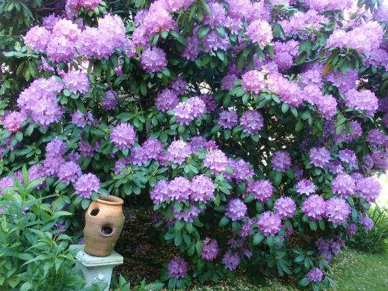 Rhododendron 'PJM' by the house...