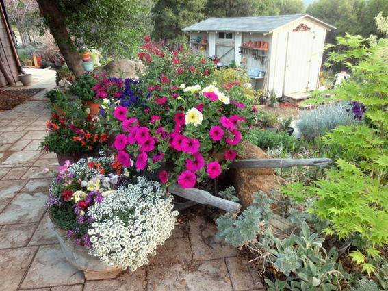 Sue Langley's overflowing wheelbarrow greets 'back door' friends to the garden