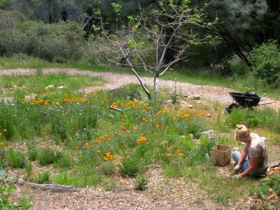 Me, weeding my CA native wildflower meadow