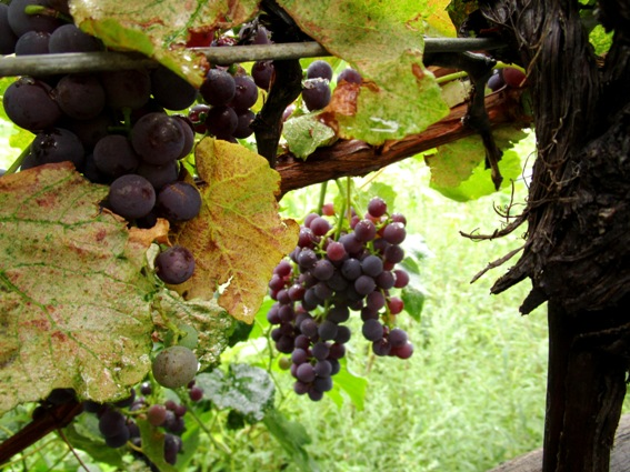 August grapes drip heavily from the vines