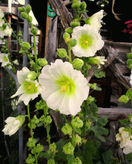 Hollyhock flowers open from bottom to top