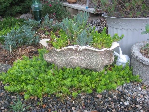 Sue Langley Sedum rupestre 'Lemon Coral'