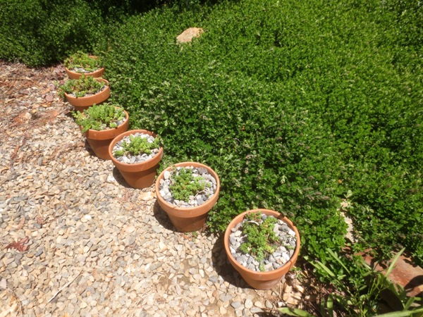 Use these along paths or as an edging