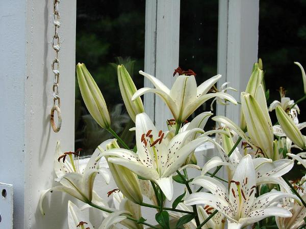 Gorgeous Asiatic lilies add a warm white