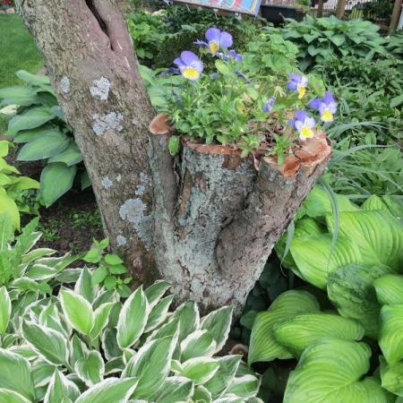 A cut off branch of a tree offers a place to plant some pansies